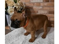 BEAUTIFUL FEMALE FRENCH BULLDOG READY FOR NEW HOME