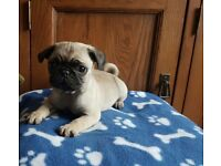 Kennel Club Registered Pug Puppies