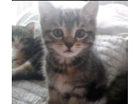 Kittens 8 weeks old beautiful colour
