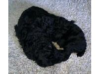 Just a boy left. Poodle puppies from KC parents