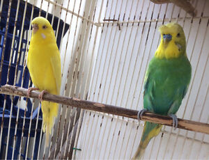 pair budgies with cage $45 for lot Sadleir Liverpool Area Preview