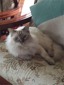 Lost Ragdoll Solli Lochinvar Maitland Area Preview