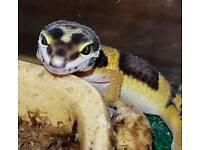 Leopard Gecko's