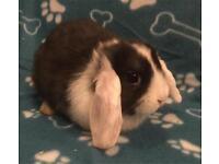 Stunning baby mini lop boy