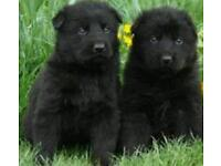 3 FEMALE GERMAN SHEPHERD PUPS