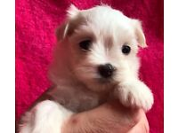 Maltese little tiny puppies small bitch dog puppy longhair white cute teddy pups adorable