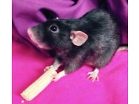 Very friendly male rat looking for forever home