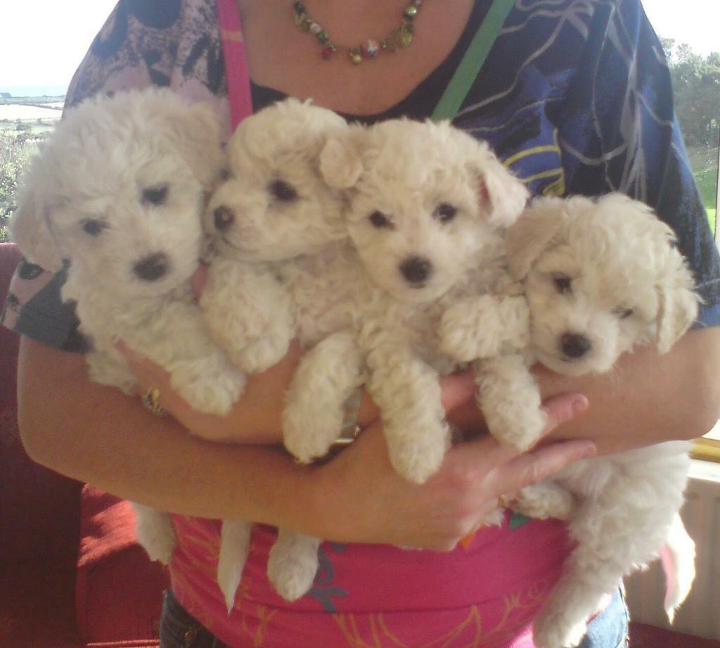 Bichon Frise Pups -Sold | in Portaferry, County Down | Gumtree