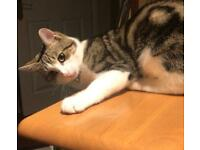 Beautiful boy mix bengal tabby white paws kitten 10months