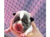 French Bulldog Blue Pups Kc