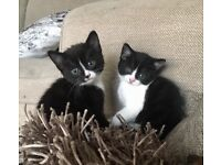 KITTENS FOR SALE in Greenhithe near Bluewater shopping centre