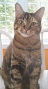 "Young Female Cat - Tabby: ""Molly"""