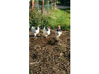 Poultry banties