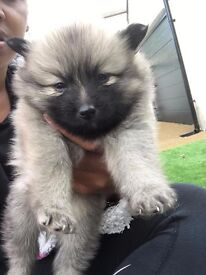 Beautiful pomeranian puppies, healthy bundles of fluff home reared