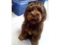 Cockerpoo f1b chocolate girl 14 months