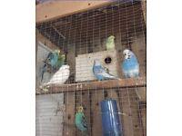 Avairy birds