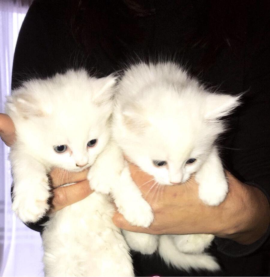 White Persian Dollface Kitten   in Upminster, London   Gumtree