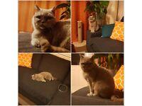 Missing Cat - British Shorthair - Eccles