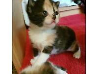 Beauty mix colour Kitten