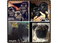 5 black beautiful pugs puppies