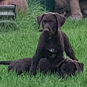 German Wirehaired Pointer X Lab Male Dogs Puppies Gumtree