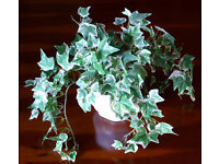 New faux silk variegated ivy plant with glazed white ceramic pot