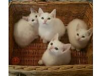 Adorable Pure White Kittens