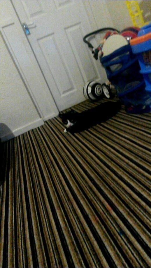 Black white female cat
