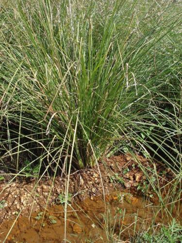 INDIAN KUSH GRASS 30 CT FRESH PICKED BY ORDER DHARBAI KUSHA LEAVES DARBHA PITRI