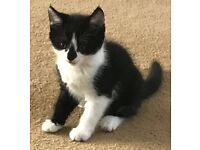 Lovely child friendly female kitten