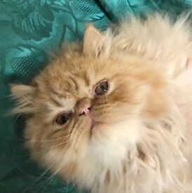Beautiful Persian kitten for sale