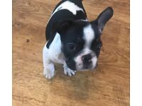 REDUCED PRICE French bulldog pied males