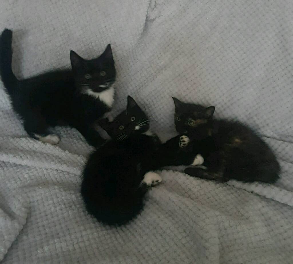 2 Black and White Boy Kittens Ready Now