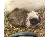 2 female Peruvian guinea pigs