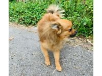 Last Pomeranian puppy ready now