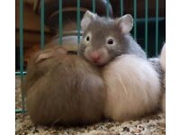 Hamster Babies Syrian - Adorable and Friendly - used to children , dogs, tv's & hoovers!