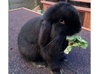 Friendly well handled Minilop bunnies