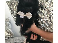 Ready now 1 tiny male Pomeranian puppy
