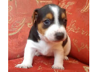 JACK RUSSELL PUPPIES SHORT HAIR