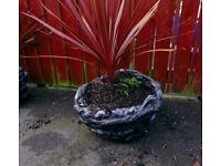 Red Star Cordyline Palm Palnt + Handsome Heavy Stone Planter