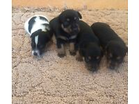 4 rare miniature Jack russel puppies for sale