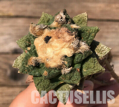 nataellis E91P Ariocarpus fissuratus var. hintonii, seedling WITH ROOTS 선인장 仙人掌