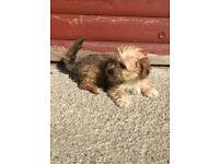 Female Cavachon puppy for sale!!!!!