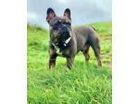 Lovely French Bulldog looking for new home