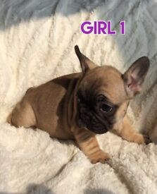 LITTER OF OUTSTANDING FRENCH BULLDOGS