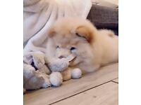 Chow chow puppy boy