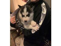 Siberian Husky Puppy (female) - last puppy left