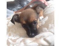 Chihuahua X bitch 9 weeks old