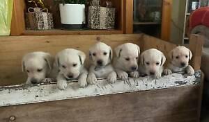 Adorable Labrador Purebred Puppies