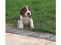 *Ready in one week* Gorgeous Beagle puppies
